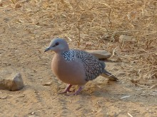 Spotted Dove (India)
