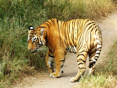 Male tiger observed on second day in Ranthambhore.