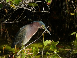 Green Heron. My favorite photo taken the day after my lessons with Tom Dunkerton.