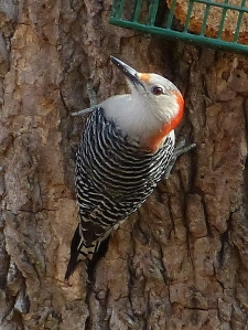 Red-bellied Woodpecker in my backyard. The light in the bird's eye makes this photo work.