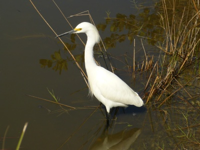 This Snowy Egret was a white bird with a dark background. An exposure compensation of -1 kept the details in the white feathers.