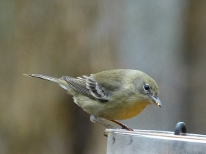 Pine Warbler (female). Even a simple image can be pleasing. This photo works because the background is out of focus.