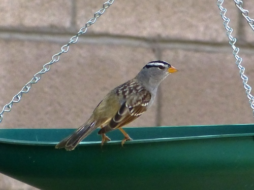 White-crowned Sparrow (Gambell's subspecies) on Myrna's feeder