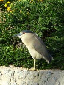 Black-crowned Night-Heron (first summer)