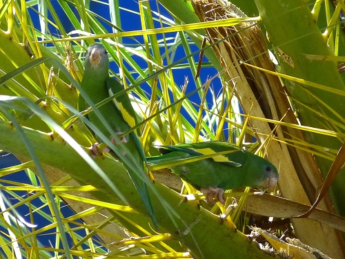 White-winged Parakeets in front of Ocean Bank