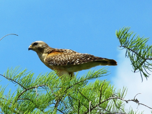 Red-shouldered Hawk, a common Florida raptor observed earlier in the trip in Everglades National Park.
