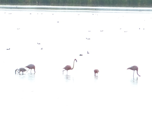 American Flamingos at STA 2, Palm Beach County