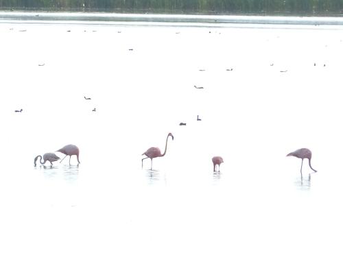 American Flamingos at STA 2, Palm Beach County