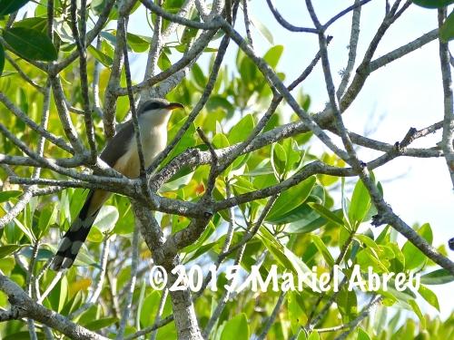Mangrove Cuckoo