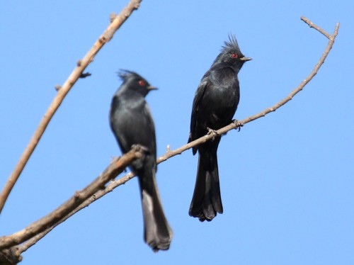 Phainopepla pair.  Photo by Larry Noelker.