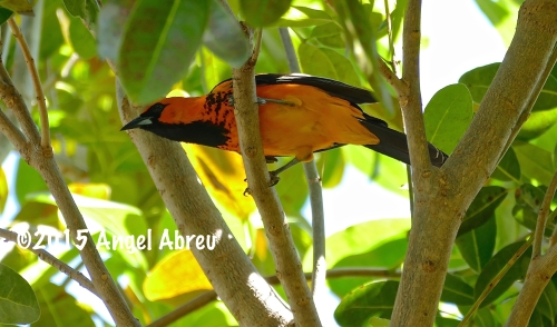 Spot-breasted Oriole.  Photo by Angel Abreu.