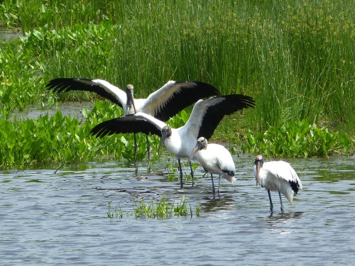 Wood Storks, Harris Neck National Wildlife Refuge