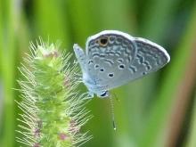 Ceranus Blue