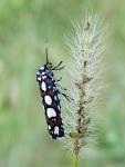 Curve-lined Cydosia Moth