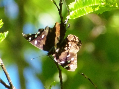 Florida Purplewing