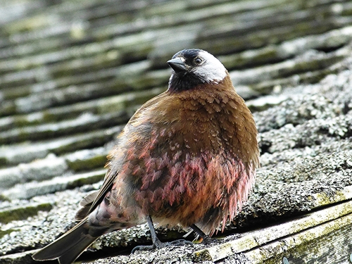 Gray-crowned Rosy-Finch