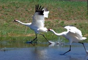 Whooping Cranes. Photo: International Crane Foundation.