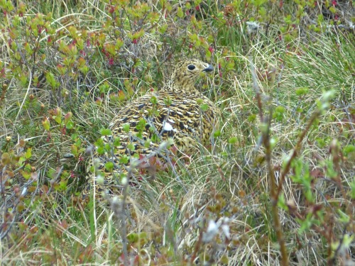 A female Willow Ptarmigan, part way up the hill to the curlews.