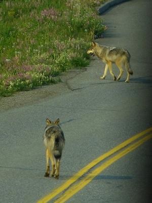 Wolves in Denali National Park