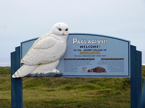 Where we hunt Snowy Owls