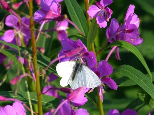 Arctic White butterfly on fireweed