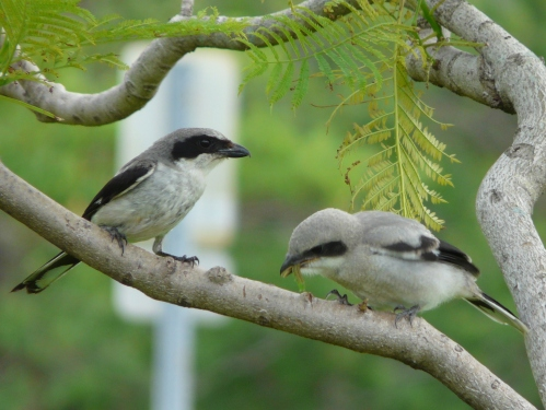 A juvenile Loggerhead Shrike enjoys lunch provided by a parent.