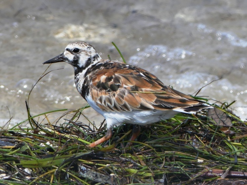 Ruddy Turnstone, June 2016, on the Dunedin Causeway