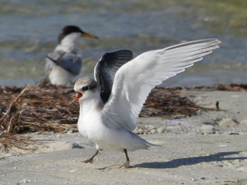 One of the young Least Terns in the flock at Courtney Campbell Beach.