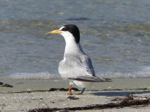 Banded Least Tern