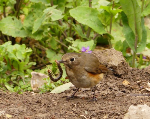 Red-flanked Bluetail in Shanghai's Century Park.