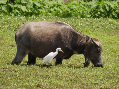 Water Buffalo and Cattle Egret at Pui O.