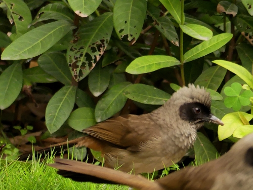 Masked Laughingthrush, a very common bird in Southern China.