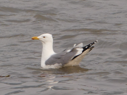 Probable Mongolian Gull on the Huangpu River.