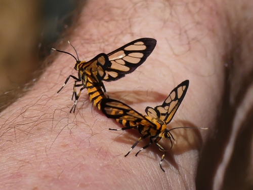 Clearwing Tiger Moths at Fairy Lake Botanical Garden, perhaps the nature highlight of the trip.