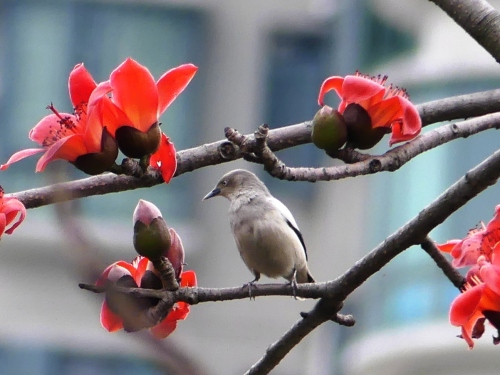 White-shouldered Starling. Many species of birds were attracted to these trees with huge flowers.