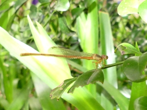 Unidentified damselfly.