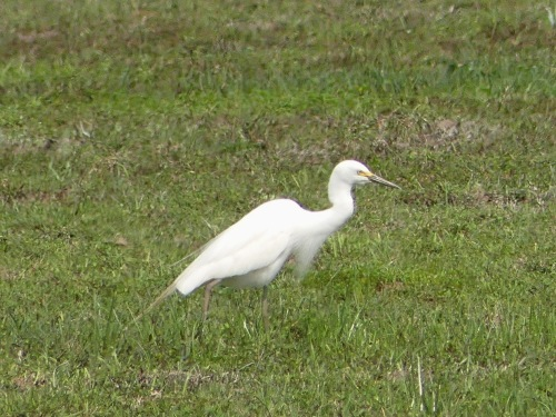 Intermediate Egret at Pui O.