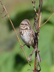 I saw this pretty little Song Sparrow before I was out of North Carolina.