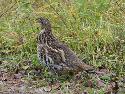 A Ruffed Grouse in the Bog.