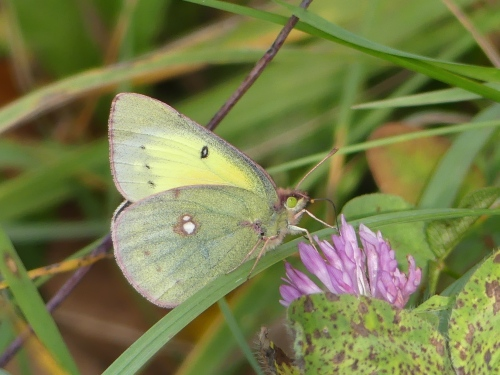 An Orange Sulphur at Rock Cut State Park