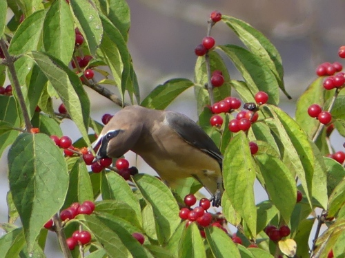 Cedar Waxwing at Eagle Creek Park