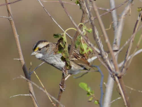 A White-throated Sparrow in Iowa