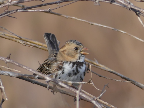 A young Harris's Sparrow sings in Jester Park.