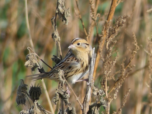 Le Conte's Sparrow in Iowa