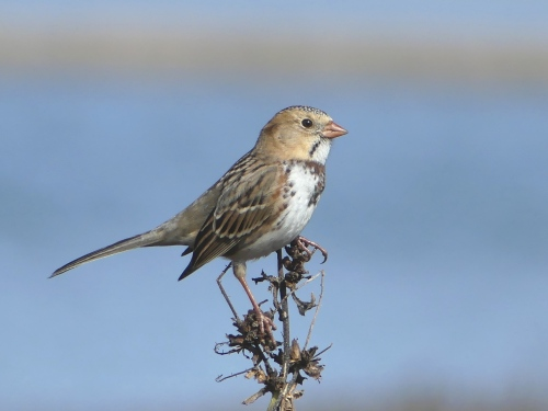 Another Harris's Sparrow from Iowa. Can't get enough of these beauties!