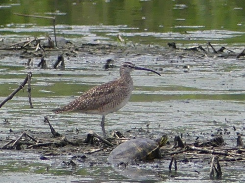 Bad photo, but great bird - the first Whimbrel ever observed in Forsyth County.