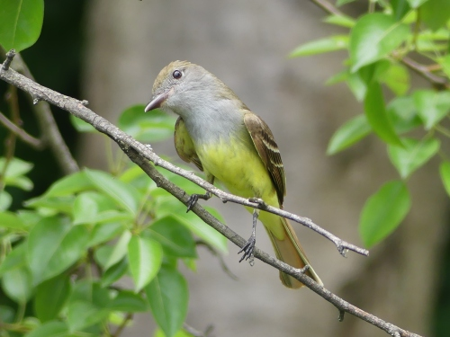 Great Crested Flycatcher. One of my favorite photos.