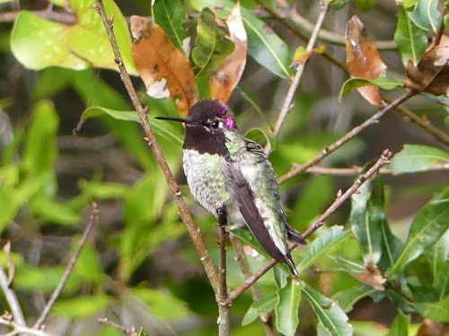 The adult male Anna's Hummingbird in Buxton - a nice addition to my 2017 NC list.
