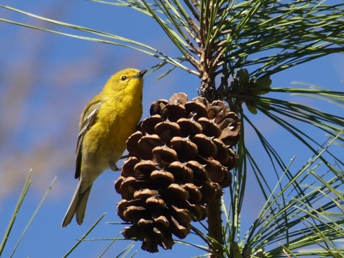 Pine Warbler at an I-30 rest stop in Arkansas.