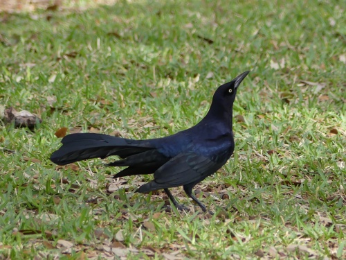 Great-tailed Grackles were abundant on the Austin capitol grounds.